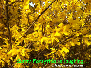 forsythia's laugh